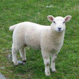 Sheep farming is the third biggest agricultural business in Ireland
