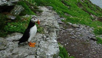 Puffins on the Skellig Islands