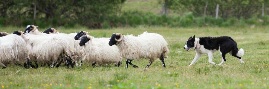 A border collie herding Irish Sheep as seen on our agricultural tours of Ireland