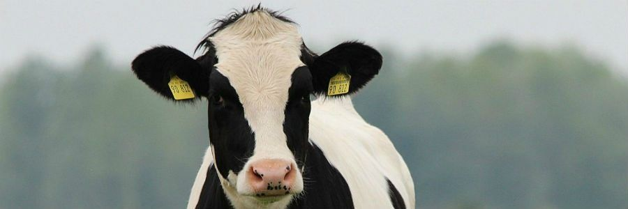 A Holstein cow pictured on one of our Dairy Tours of Ireland