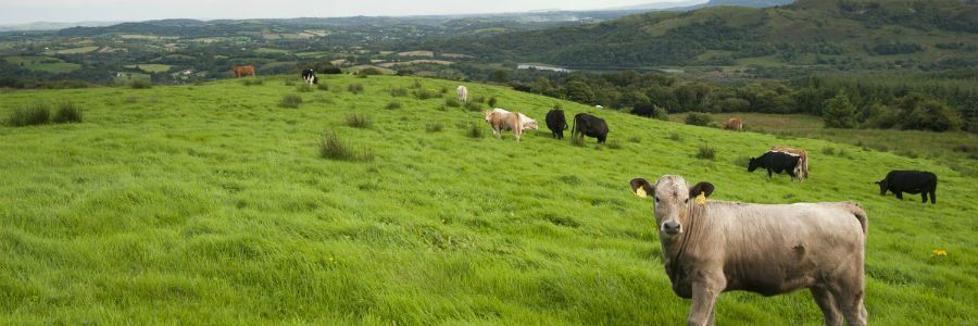 Cattle pictured on a beef farm tour of Ireland